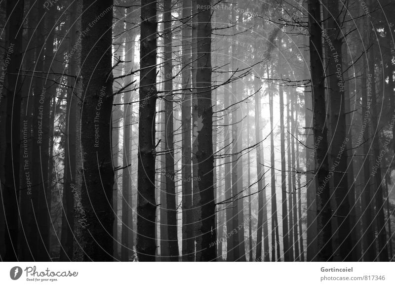 Tannicht Environment Nature Landscape Tree Forest Dark Coniferous trees Fir tree Coniferous forest Black & white photo Exterior shot Day Light Shadow