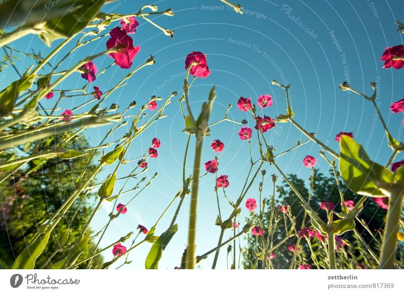 campion Garden Garden plot Nature Park Summer Growth Flower Blossom Blossoming Worm's-eye view Sky Cloudless sky Plant carnation White campion Dianthus