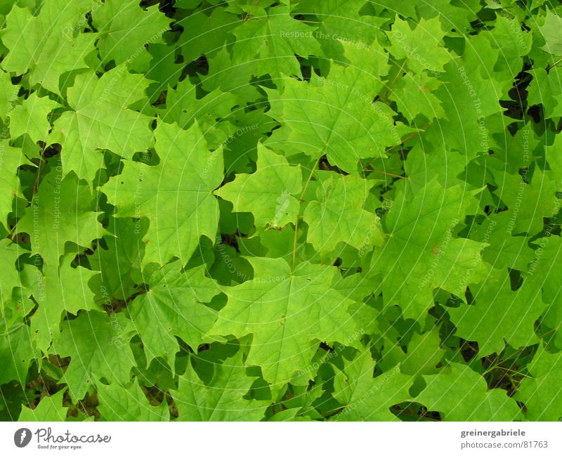 Canadian landmark Canada Maple tree Leaf Green Spring Summer Nature