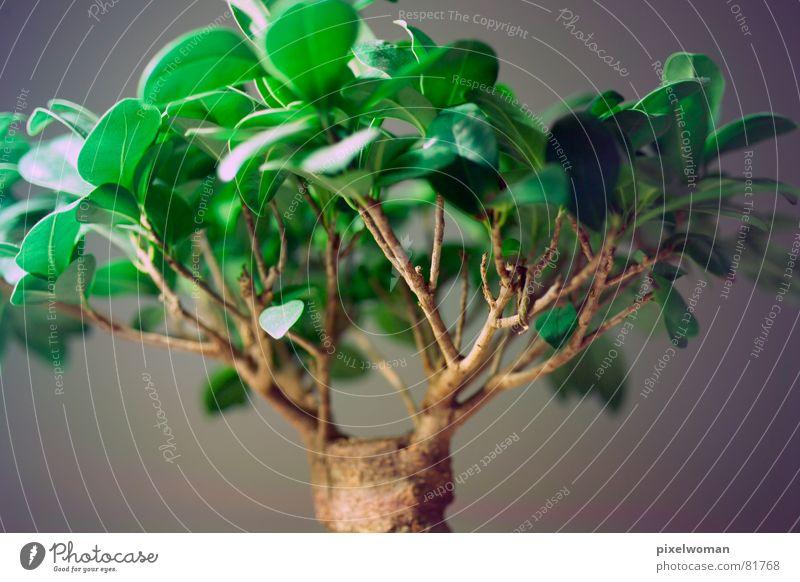 Tree Green Gray Brown Branch Bonsar