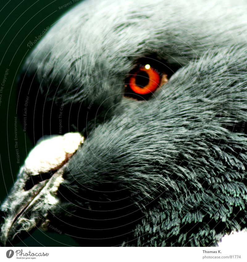 White Eyes Gray Bird Dirty Feather Pigeon Neck Beak Animal Ornithology Downy feather Molt Bird 'flu Mother hen Bird hunting