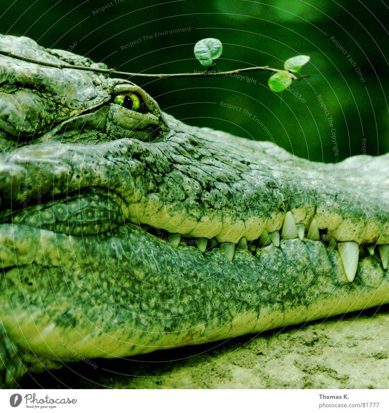 Green Beautiful Eyes Skin Dangerous Threat Branch Set of teeth Stalk Risk Evil Twig Leather Barn Aggression Thief