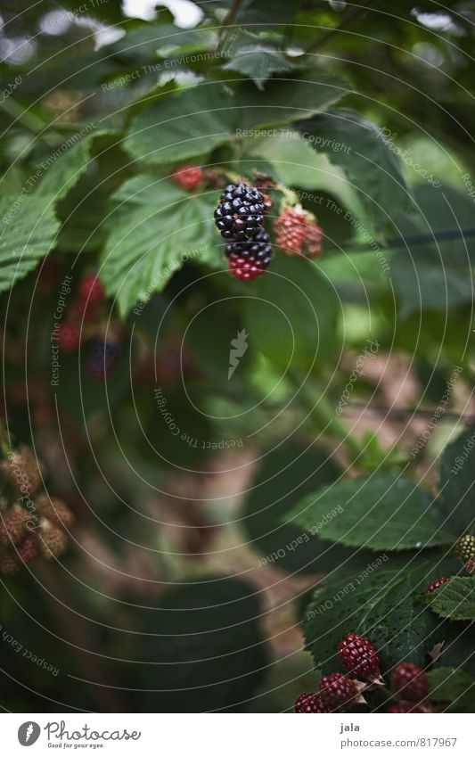 Nature Plant Natural Healthy Garden Fruit Fresh Foliage plant Agricultural crop Blackberry