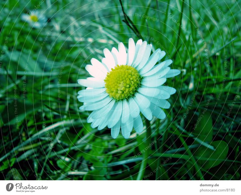 Flower Green Spring Daisy