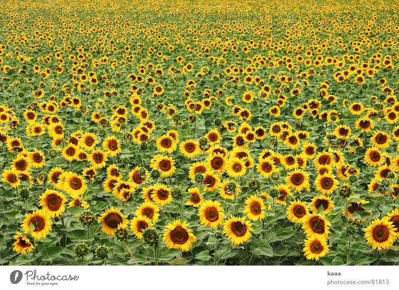 Hello SunShine Sunflower Yellow Field Flower Summer Provence France warm season