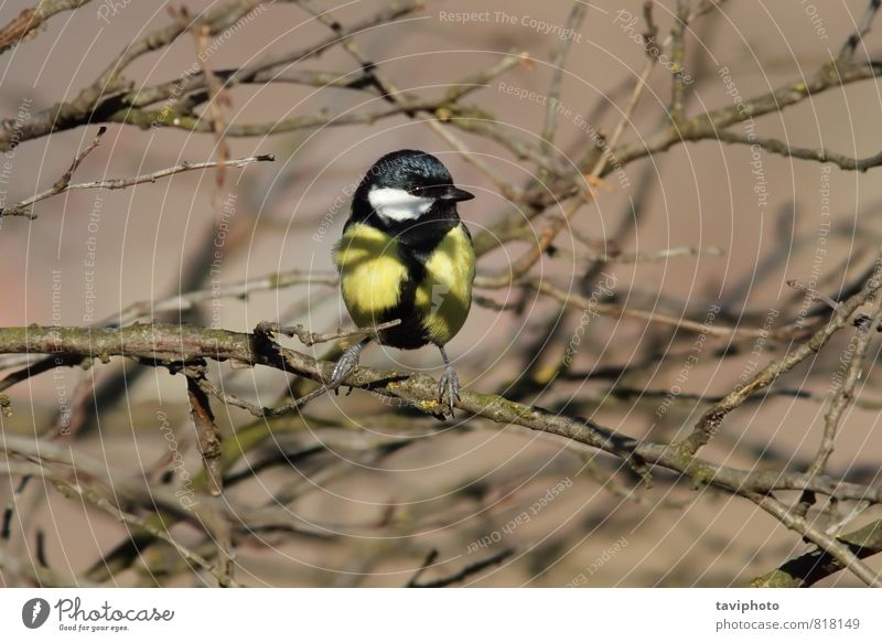 great tit Nature Beautiful Tree Landscape Animal Black Winter Forest Environment Yellow Natural Small Garden Bird Wild Sit