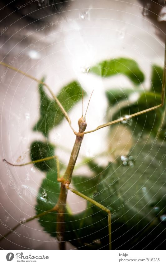 Sascha-Ulrike, our foundling Leaf Animal Pet Wild animal stick insect Locust Insect 1 Terrarium Packing film Airhole Glass Observe Hang Crawl Exceptional Thin