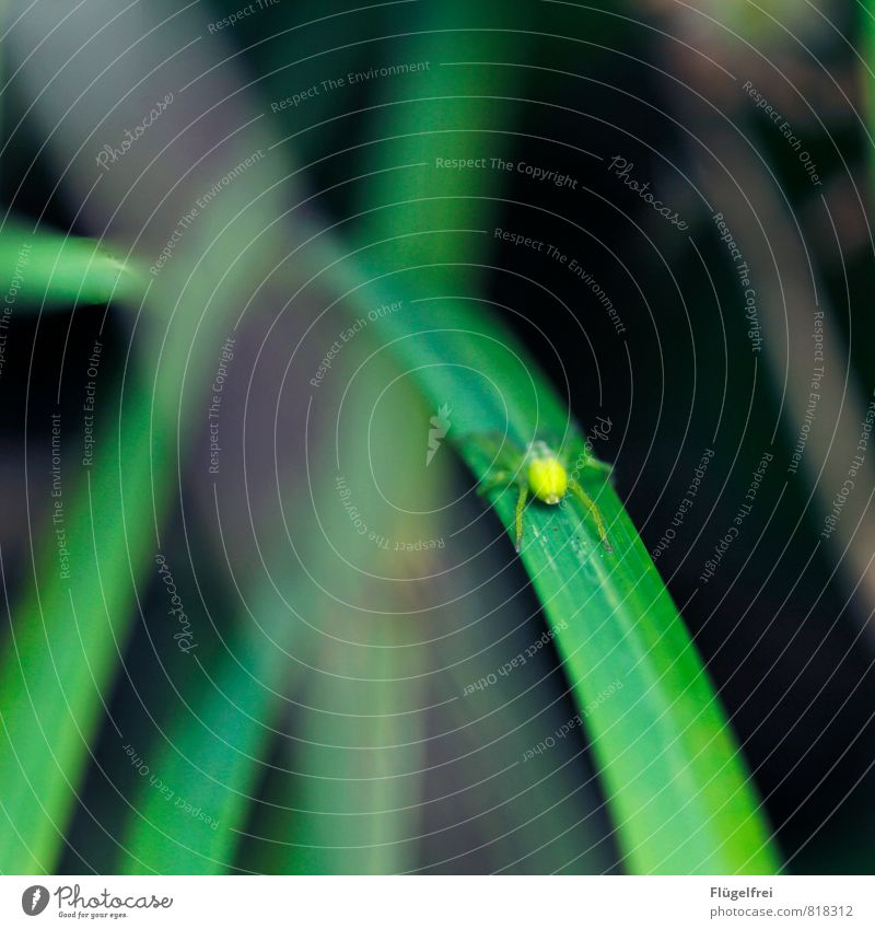 poisonous green Spider Sit bush spider Blade of grass Nature Forest Insect Poison Wait Hunting Legs Macro (Extreme close-up) Shallow depth of field Colour photo