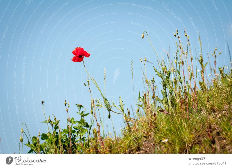 hillside location Nature Plant Sky Cloudless sky Summer Beautiful weather Blossom Poppy Poppy blossom Meadow flower Blue Green Red Slope Escarpment Wild plant