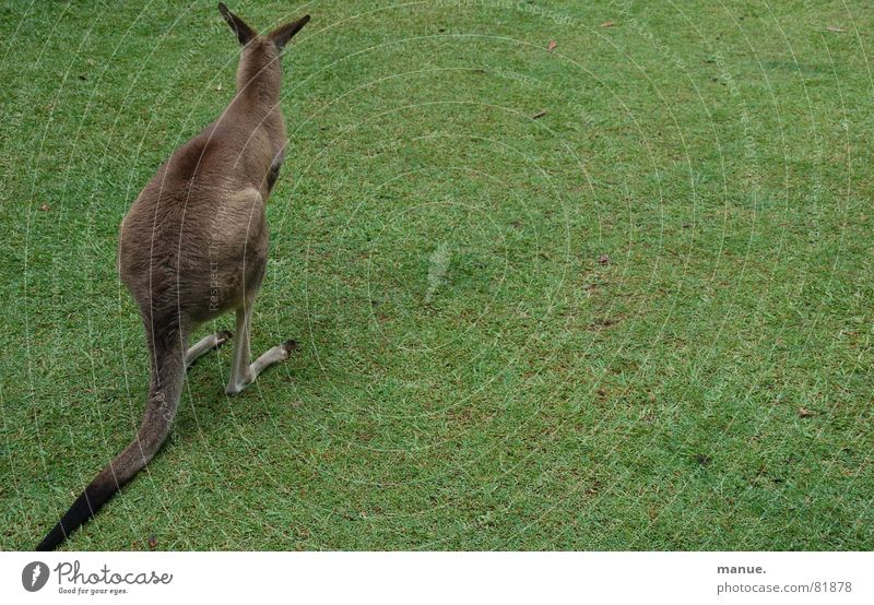 Sitting, Waiting, Wishing Kangaroo Australia Jump Calm Grass Cuddly Think Sublime Serene Knoll Loneliness Environment Grass surface Pensive Green Green space