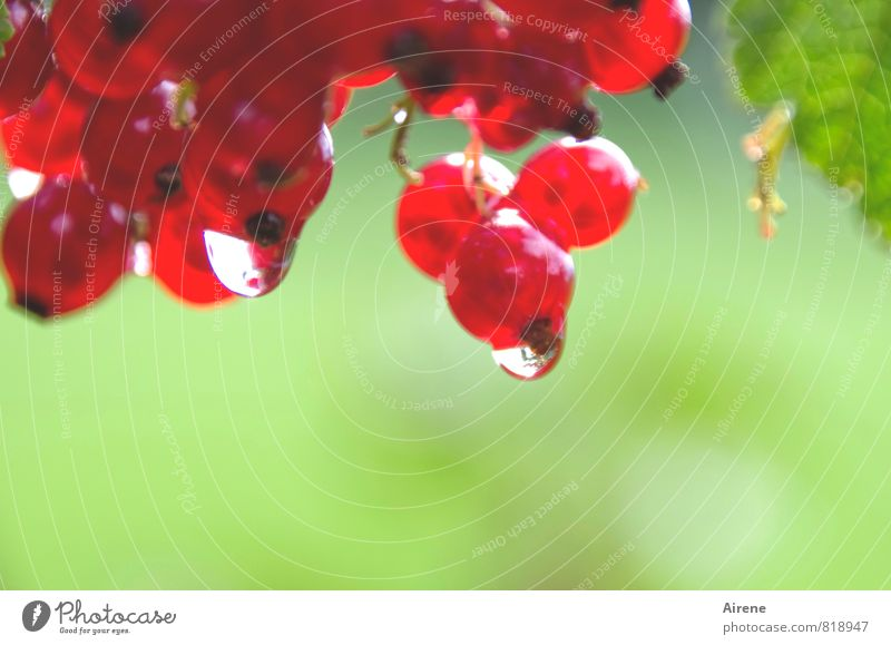 blurred berries Redcurrant Fruit Plant Water Drops of water Bushes Agricultural crop Berries Berry bushes Träuble grape fruit berry fruit Garden Hang Fluid