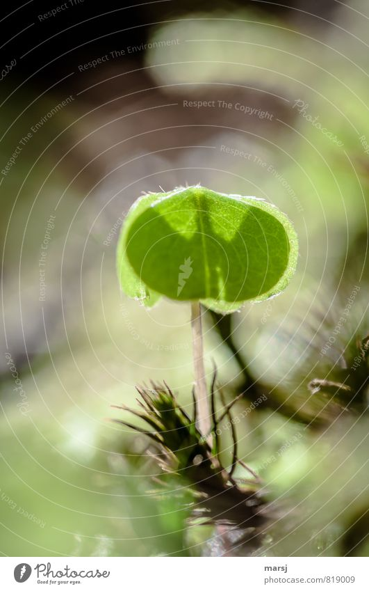 Batman's shadow Nature Plant Spring Summer Leaf Foliage plant Wild plant wood clover Cloverleaf wood sorrel Illuminate Growth Esthetic Exceptional Thin