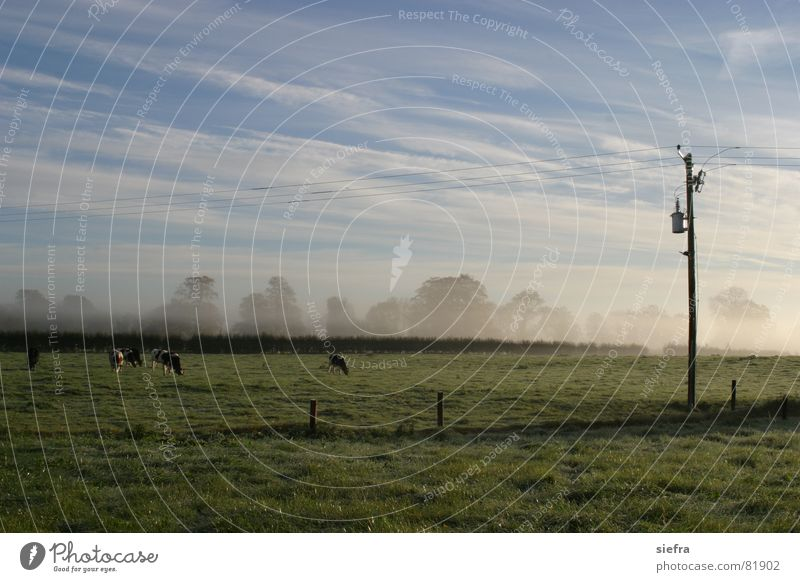 autumn fog Autumn Fog Cattle Cow To feed Pasture Meadow Electricity pylon Sunrise Friendliness Clouds Relaxation Exterior shot Grass Shroud of fog Vail Green