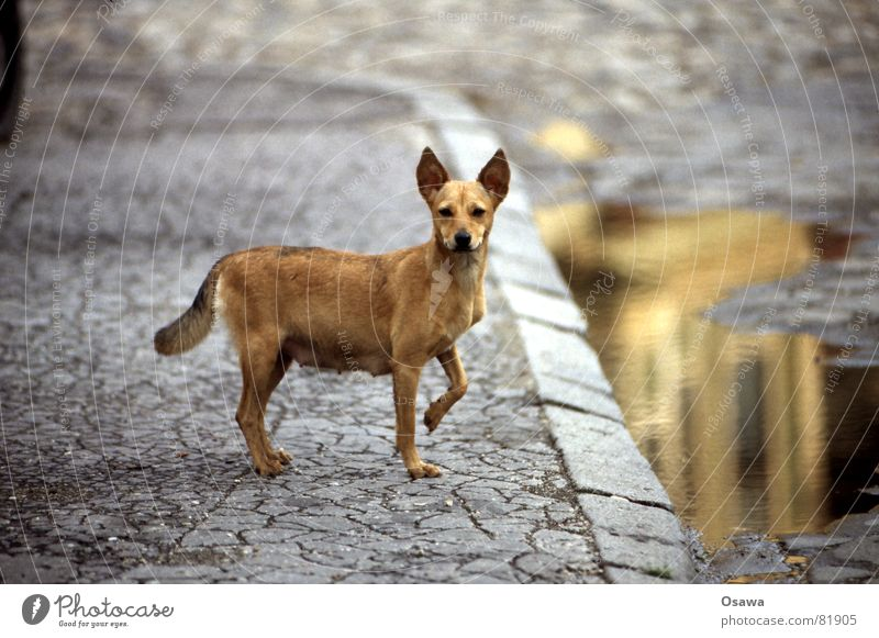 Beautiful Dog Sweet Ear Cute Asphalt Friendliness Sidewalk Pavement Mammal Puddle Fine Tar Road traffic Spoon Animal