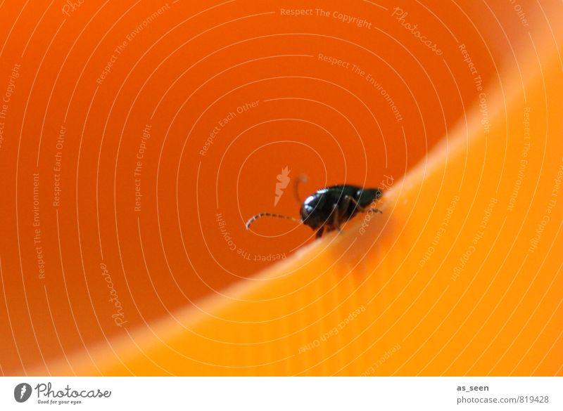 Funny Beetle Animal 1 Plastic Crouch Crawl Esthetic Happiness Small Round Orange Black Joy Joie de vivre (Vitality) Colour Insect Feeler Lanes & trails Diagonal