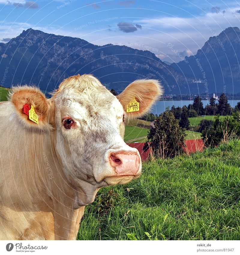 En goldisch Cattle Button eyes Castle Neuschwanstein Lake Forggensee Dairy cow Cow Cute Alpine pasture Allgäu Snout Buttons Grass Hill Clouds Damp Pelt