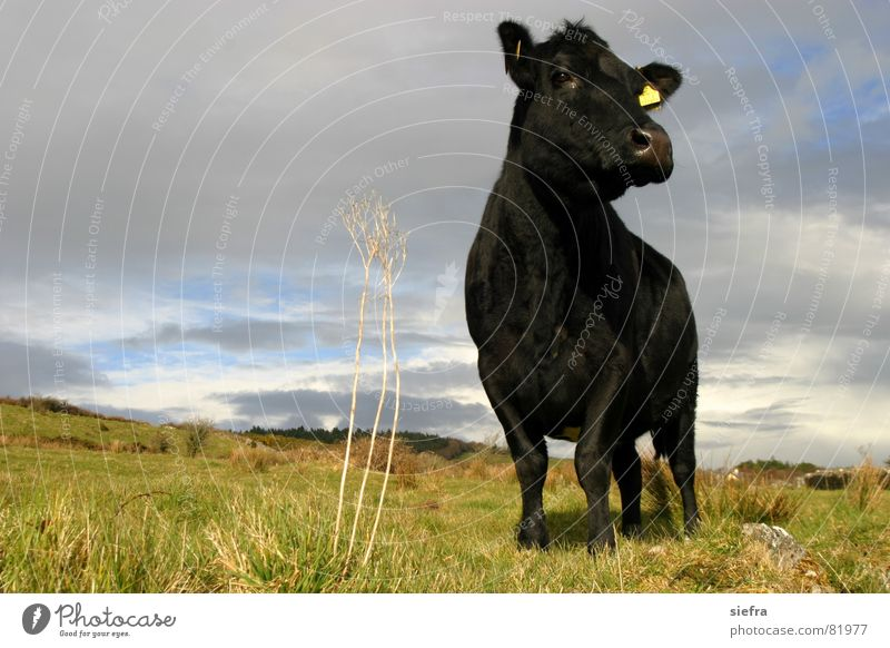 Sun Black Meadow Grass Spring Curiosity Cow Pasture Mammal Animal Ireland Cattle Moo