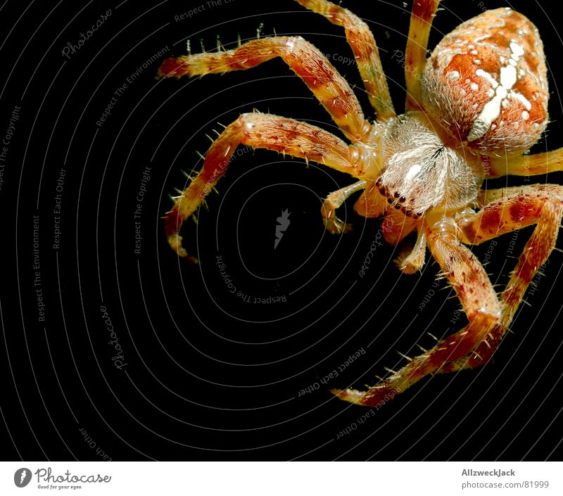 Spider Spider's web Woven Cobwebby Spinner Cross spider Orb weaver spider