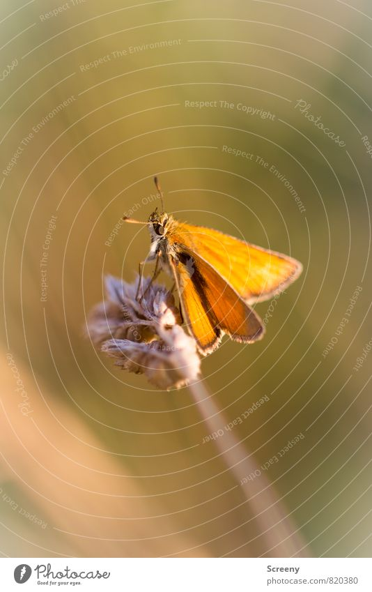 Relaxed #200 Nature Plant Animal Summer Grass Meadow Field Butterfly 1 Relaxation Sit Warmth Brown Yellow Moody Contentment Warm-heartedness Serene Patient Calm