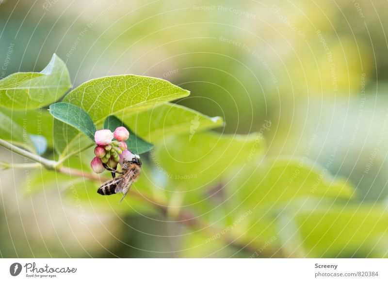hang out Nature Plant Animal Summer Bushes Leaf Blossom toy pea ordinary snowberry Park Bee 1 Blossoming Flying Growth Green Pink White Spring fever Serene