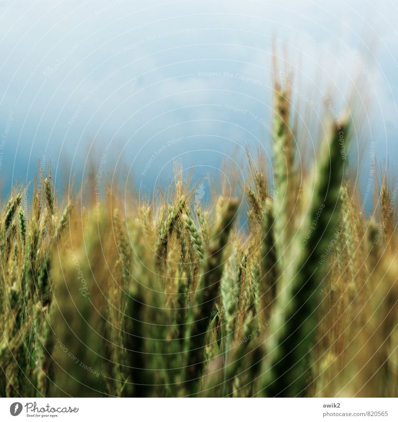 sweet grasses Environment Nature Plant Sky Clouds Horizon Summer Climate Weather Beautiful weather Agricultural crop Barleyfield Barley ear Movement Stand