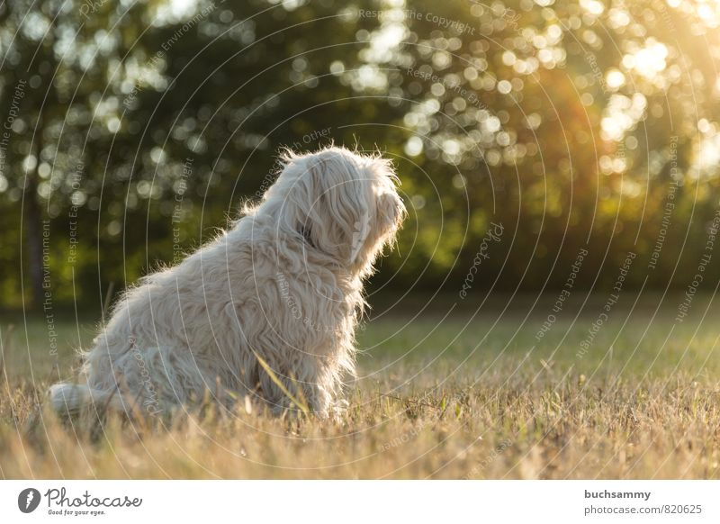 Dog Nature Green White Sun Animal Yellow Meadow Grass Moody Sit Living thing Pelt Pet Long-haired Obedient