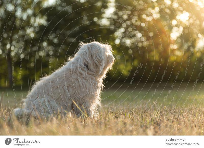Thoughtful Nature Animal Sun Sunrise Sunset Sunlight Grass Meadow Pelt Long-haired Pet Dog 1 Sit Yellow Green White Moody Obedient companion dog bichon