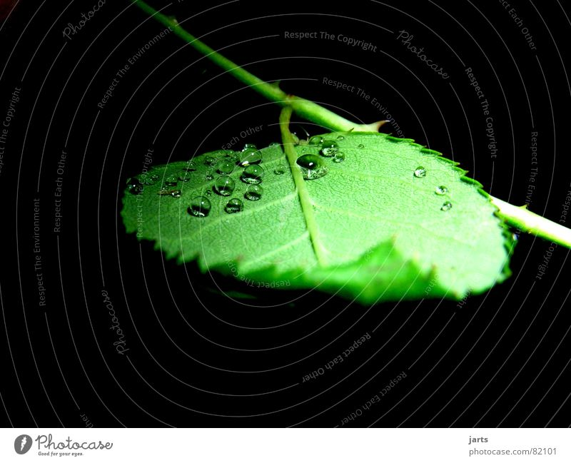 Only small drops Leaf Rose Drops of water Green Rose leaves Water Rain Rope jarts