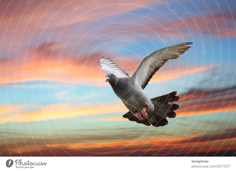 pigeon flying over beautiful sky Elegant Beautiful Body Freedom Nature Animal Sky Bird Pigeon Wing Movement Flying Wild Blue Gray Hope Colour Peace in flight