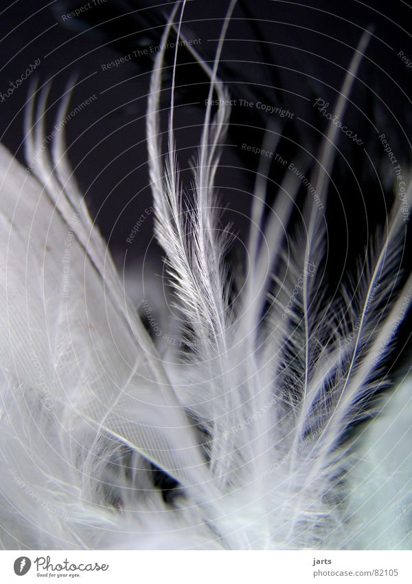 feather dance Bird Soft Cuddly Fine Sensitive Pennate Delicate Macro (Extreme close-up) Close-up Feather jarts