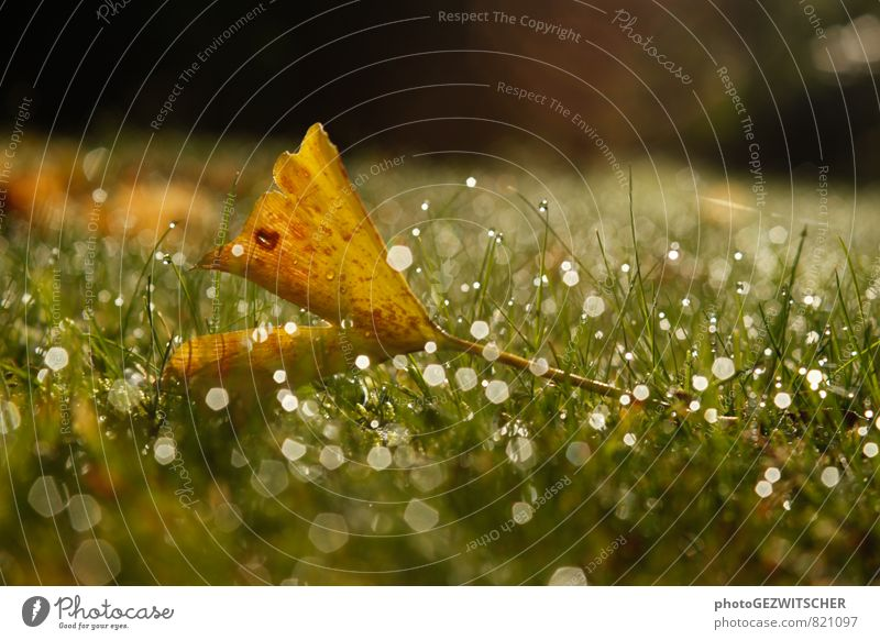ginkgo leaf Nature Plant Drops of water Autumn Grass Leaf Meadow Glittering Cold Wet Brown Yellow Green White Ginko Colour photo Exterior shot Close-up