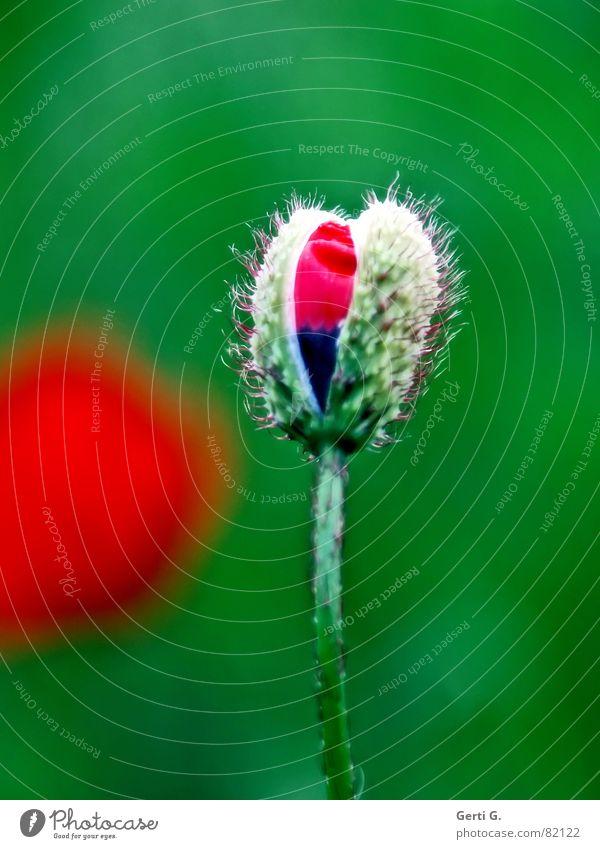 Nature Flower Green Blue Red Summer Black Loneliness Blossom Spring Fresh Open Delicate Blossoming Poppy