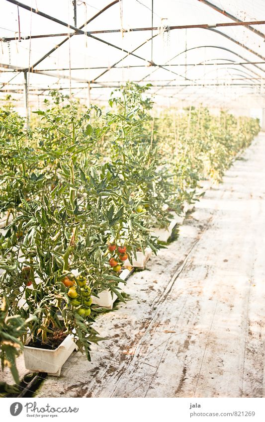 tomatoes Work and employment Gardening Workplace Agriculture Forestry Plant Agricultural crop Tomato Tomato plantation Manmade structures Building Greenhouse