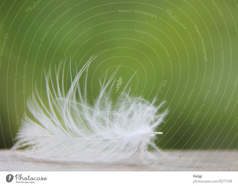 as light as a feather... Nature Animal Lie Esthetic Beautiful Uniqueness Small Natural Gray Green White Transience Feather Easy Ease Delicate Soft Colour photo