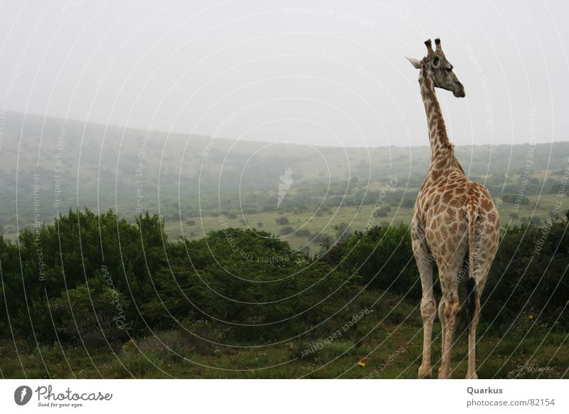 Giraffe in the morning Nature reserve Wild animal South Africa Fog Animal Horizon Forest Bushes Steppe Clouds Safari Wilderness Vail Herbaceous plants