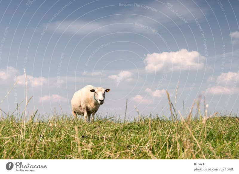 What are you looking at? Nature Sky Clouds Summer Beautiful weather Grass Animal Farm animal 1 Observe To feed Stand Bright Warmth Dike Sheep Colour photo
