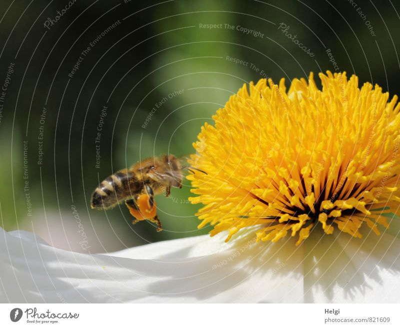 hardworking honey collector... Environment Nature Plant Summer Beautiful weather Flower Blossom Blossom leave Pistil Poppy blossom Garden Animal Farm animal Bee