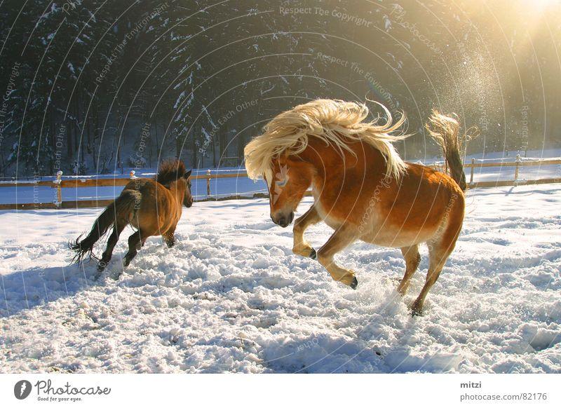 Horses in the snow Haflinger Wild horses Animal Pasture Winter Jump Hop Joie de vivre (Vitality) Cowboy Mane Whinny Life Joke Mammal Joy Horse's gait horse-like