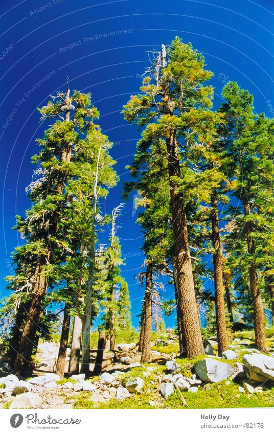 Grow into the sky. Tree National Park Green Tree trunk USA Summer soar to the skies Blue Sky Stone Perspective Site