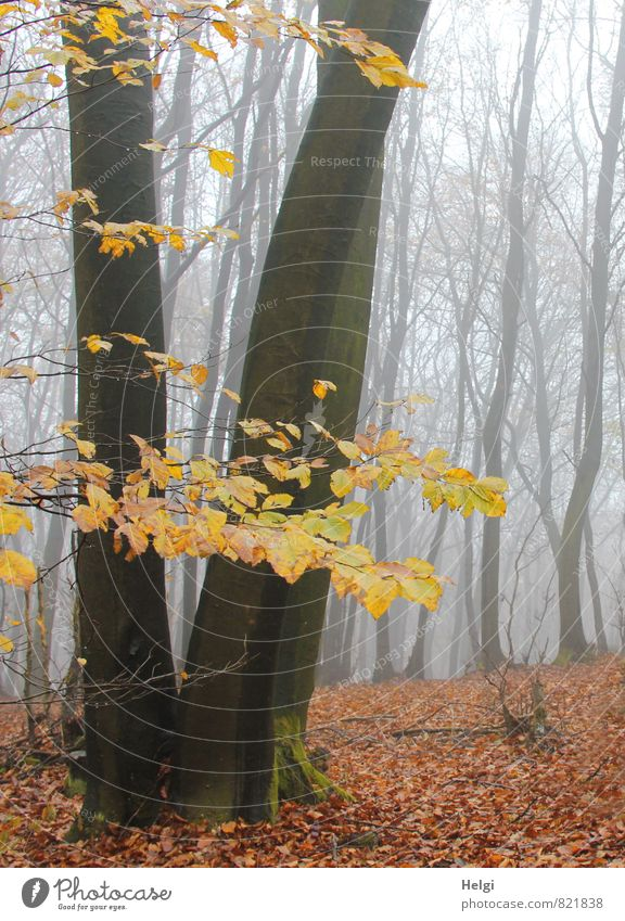bizarre cloud forest Environment Nature Landscape Plant Autumn Fog Tree Leaf Beech tree Tree trunk Forest Old Stand To dry up Growth Authentic Dark Tall Natural