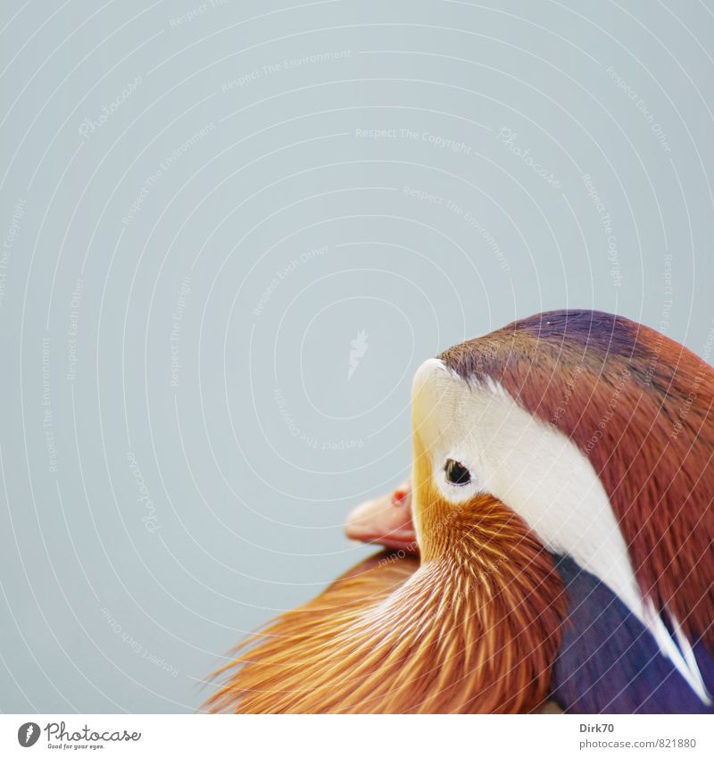 Mandarin(nte I mean of course) Asian Food Animal Park Wild animal Bird Duck Mandarin duck Animal portrait Feather Plumed Beak 1 Swimming & Bathing Esthetic