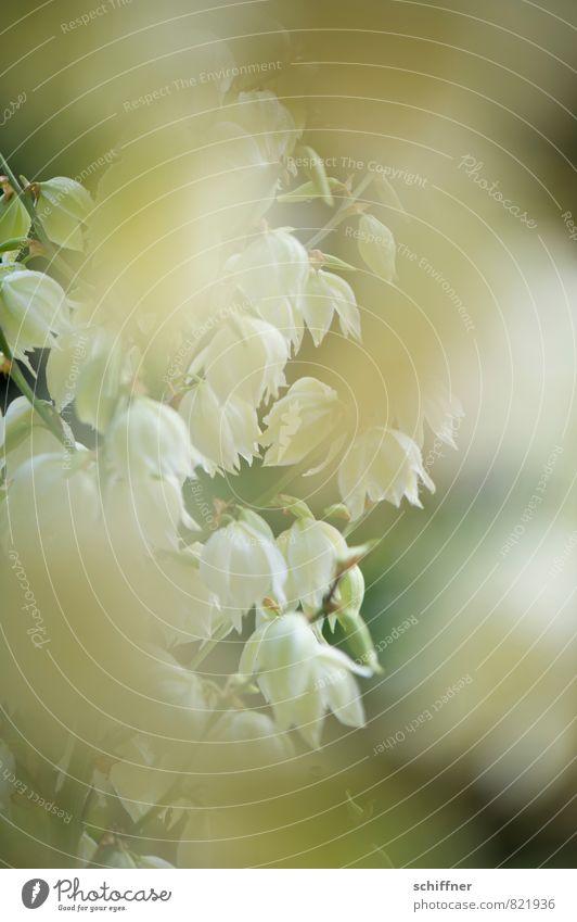 Plant Green White Flower Blossom Bushes Bud Blossom leave Flowering plant Petaloid
