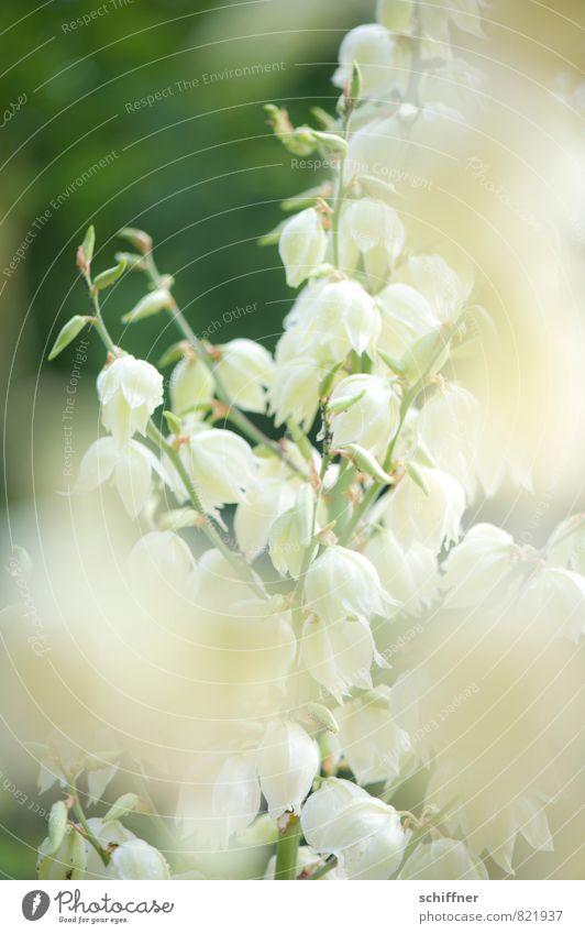 Nature Plant White Flower Leaf Blossom Bushes Romance Bud Ease Flowering plant Flowering plants Petaloid