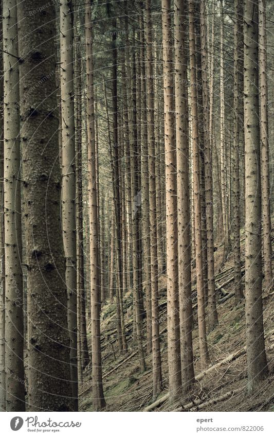 Nature Plant Tree Forest Environment Wood Line Arrangement Stand Perspective Stripe Unwavering Equal Orderliness