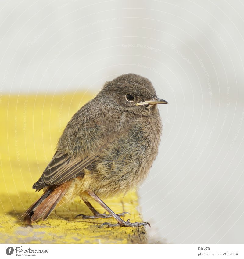 Red-tailed Teeny, the 2. Animal Wall (barrier) Wall (building) Wild animal Bird Songbirds Black redstart Plumed 1 Baby animal Wooden board Observe Crouch Sit