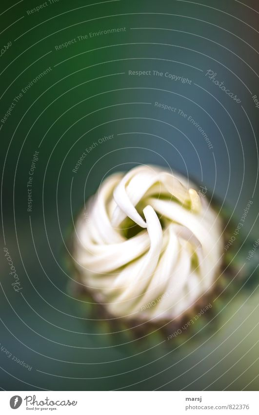 Somehow twisted Nature Plant Spring Summer Flower Blossom Agricultural crop Wild plant Blossom leave Marguerite Line Blossoming Rotate Growth Dark Elegant