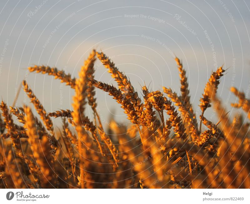 in the evening light... Environment Nature Landscape Plant Sky Clouds Summer Beautiful weather Agricultural crop Grain Wheat Cornfield Ear of corn Field