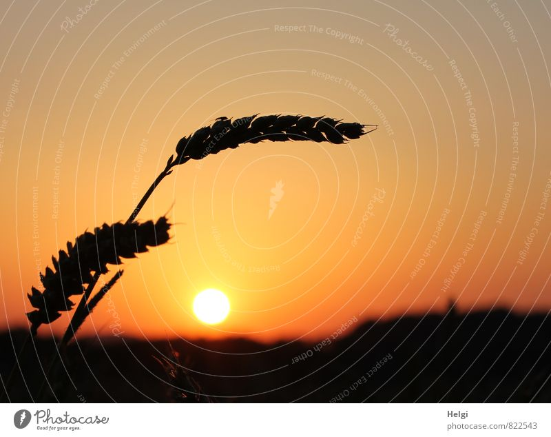 bogweed Environment Nature Landscape Plant Cloudless sky Sun Summer Beautiful weather Agricultural crop Grain Cornfield Ear of corn Wheat Field Illuminate Stand