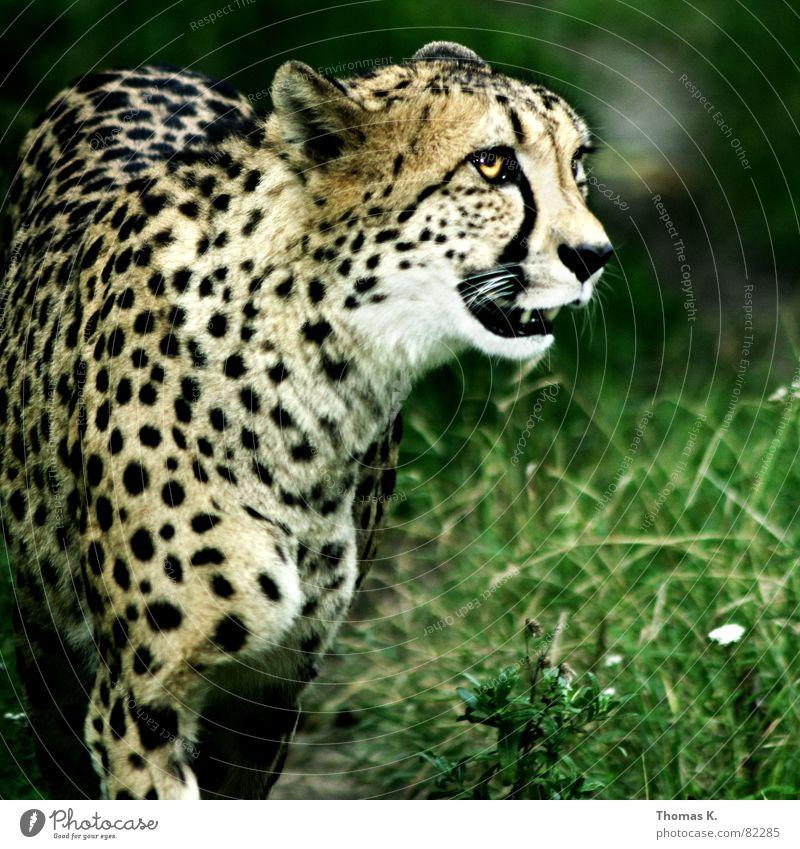 Head Threat Animal face Set of teeth Aggression Muzzle Land-based carnivore Big cat Cheetah