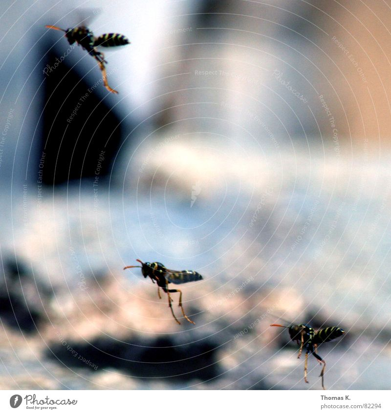Black Yellow Legs Wing Depth of field Insect Bee Feeler Formation Spine Pierce Wasps Assassin Hymenoptera Sting Span